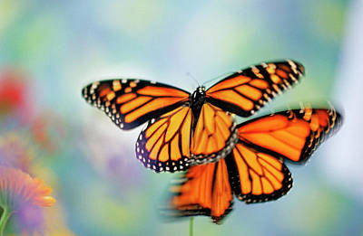 Photograph - Butterflies by Steve Satushek