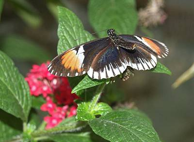 Photograph - Butterfly 3 by Charles HALL