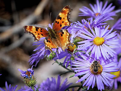 Photograph - Butterfly And Bee On Asters by Mary Lee Dereske