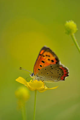 Photograph - Butterfly And Japanese Buttercup by Myu-myu