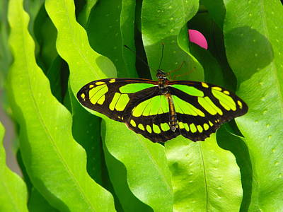 Botanical Photograph - Butterfly At Montreal Botanical Garden by Dominic Labbe