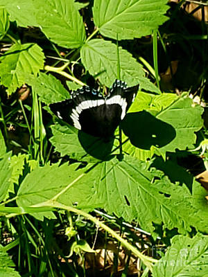 Water Droplets Sharon Johnstone - Butterfly Basking by Josephine Sheppard