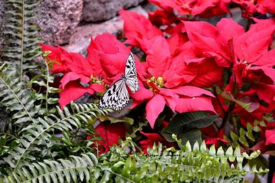 Wall Art - Photograph - Butterfly Beauty Among Red Poinsettias by Carolyn Hebert