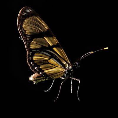 Insect Photograph - Butterfly Isolated On Black, Ubajara by Tunart