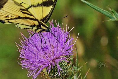 Butterfly On Bull Thistle Art Print
