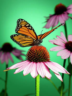 Butterfly Photograph - Butterfly On Flower by Jeffrey Coolidge