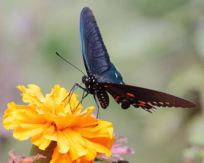 Photograph - Butterfly On Marigold 3246 by John Moyer