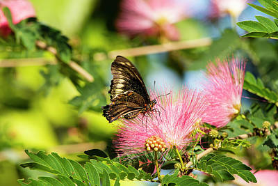 Photograph - Butterfly On Mimosa by William Tasker