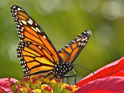 Insect Photograph - Butterfly On Red Flower by Alberto J. Espiñeira Francés - Alesfra