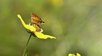 Photograph - Skipper Butterfly On Engenemann's Daisy by Karen Rispin
