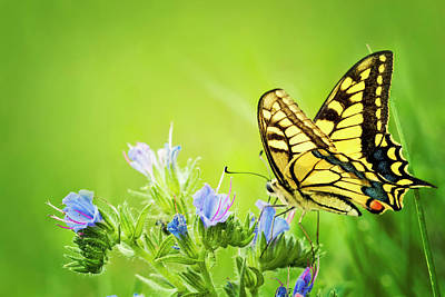 Photograph - Butterfly Papilio Machaon On Blue by Avalon studio