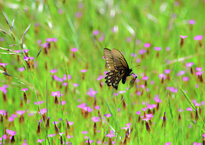 Photograph - Butterfly Pickens - 2 by Alan C Wade