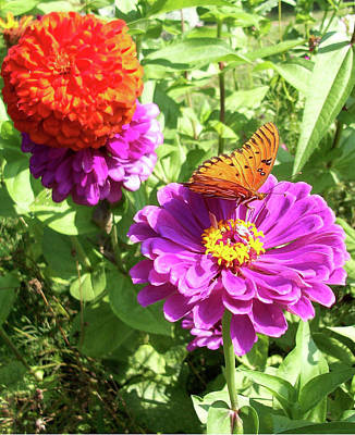 Belinda Landtroop Royalty-Free and Rights-Managed Images - Butterfly Zinnia by Belinda Landtroop