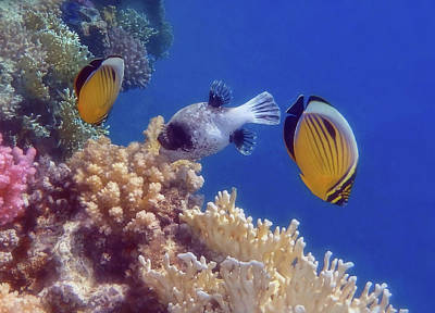 Watercolor Butterflies - Butterflyfish And Pufferfish Soft Underwater Photography by Johanna Hurmerinta