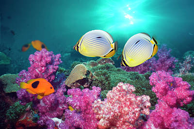 Photograph - Butterflyfish Swimming Over Coral Reef by Georgette Douwma