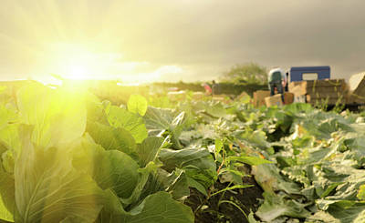 Photograph - Cabbage Farm by Vii-photo