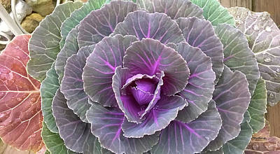 Photograph - Cabbage Plant Flower by Duane McCullough