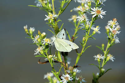 Cabbage White Butterfly On Flowers Art Print