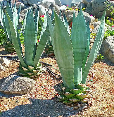 Photograph - Cabo San Lucas Cactus by Emmy Marie Vickers