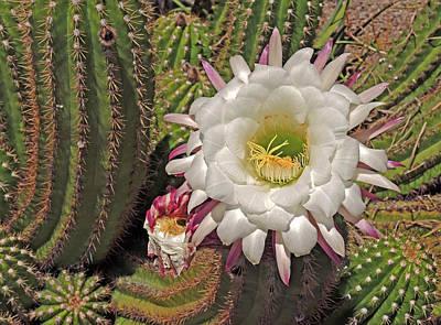 Photograph - Cactus Blossom 3  by Lynda Lehmann