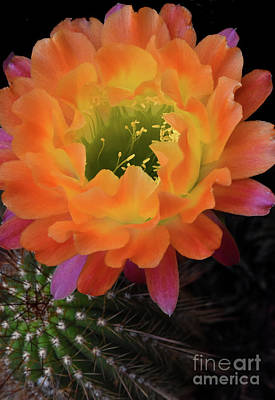 Cactus Flower Original