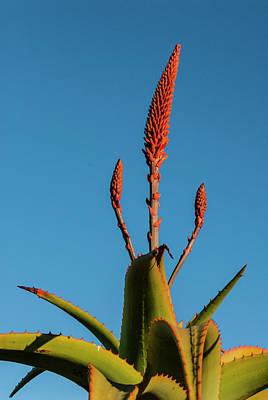 Photograph - Cactus Flower by Paul Croll