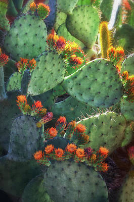 Photograph - Cactus Flowers In Dawn's Soft Light  by Saija Lehtonen