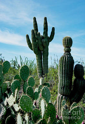 Photograph - Cactus Twins Have Company by Mae Wertz