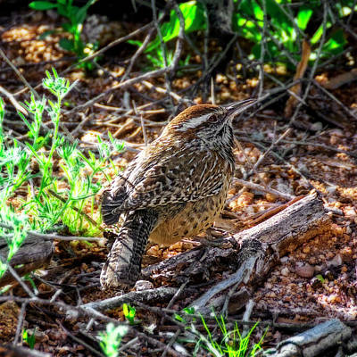 Mark Myhaver Rights Managed Images - Cactus Wren 1935 Royalty-Free Image by Mark Myhaver