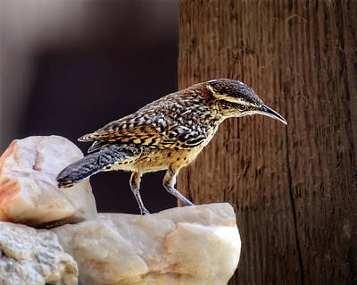 Mark Myhaver Rights Managed Images - Cactus Wren h1904 Royalty-Free Image by Mark Myhaver
