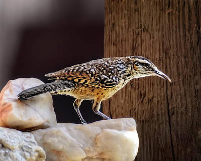 Mark Myhaver Rights Managed Images - Cactus Wren h1905 Royalty-Free Image by Mark Myhaver
