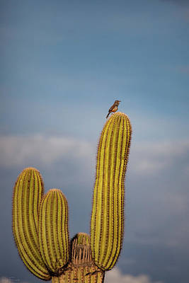 Photograph - Cactus Wren by Rick Furmanek
