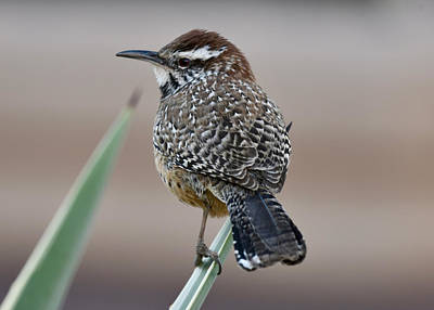 Photograph - Cactus Wren by Sonja Jones