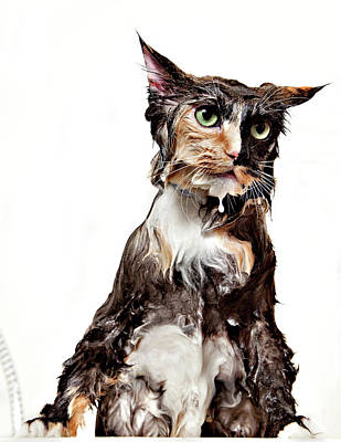 Photograph - Calico Wet Cat Isolated by Debbismirnoff