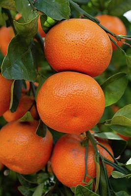 Photograph - California Citrus Orange Grove by Kyle Hanson