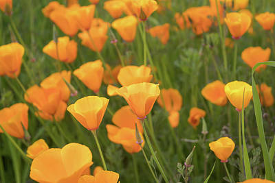 Photograph - California Poppies by Alison Frank
