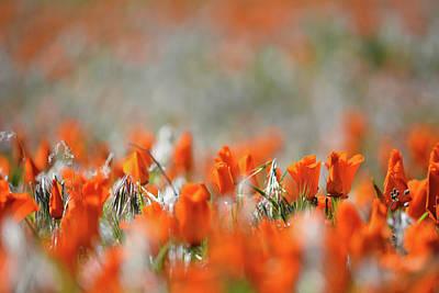 Photograph - California Poppies Landscape by Kyle Hanson