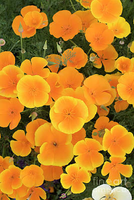 Photograph - California Poppies by Tim Gainey