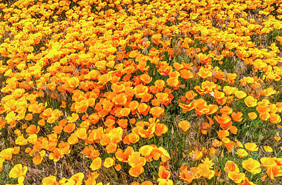 Photograph - California Poppies - 2019 by Gene Parks