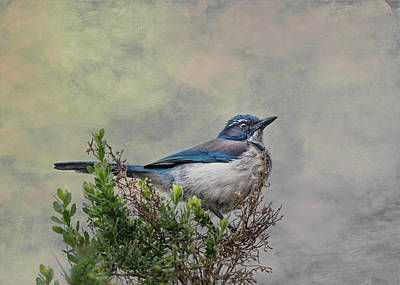 Photograph - California Scrub Jay by Patti Deters
