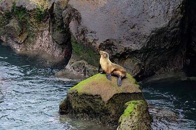 Photograph - California Sea Lion by K Pegg