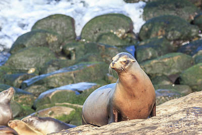 Photograph - California Sea Lion La Jolla San Diego 2 by Edward Fielding