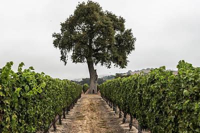 Photograph - California Tree And Vineyard  by John McGraw