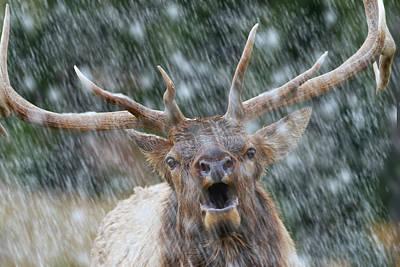 Digital Art - Call Of The Wild- Bull Elk by Mark Miller