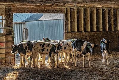 Photograph - Calves by Jim Thompson