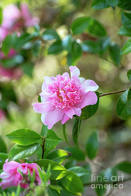 Photograph - Camellia Ballet Queen Variegated Flower In Spring  by Tim Gainey