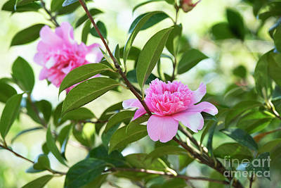 Photograph - Camellia Ballet Queen Variegated Flower  by Tim Gainey