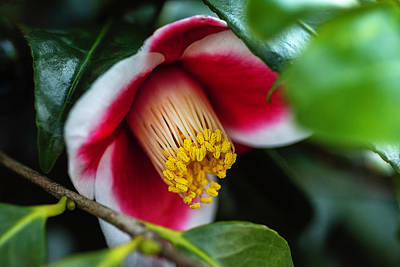 Photograph - Camellia Bloom And Leaves by Keith Smith