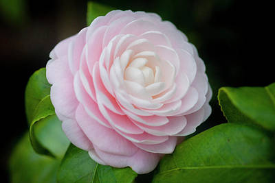 Photograph - Camellias Japonica 004 by Rich Franco