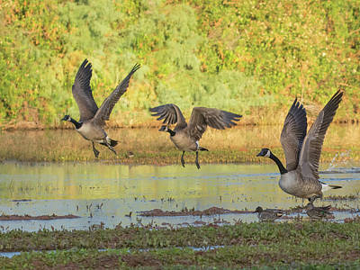 Photograph - Canada Geese 0157-111618-1cr by Tam Ryan